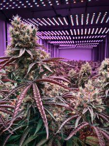 cbd cannabis pflanze